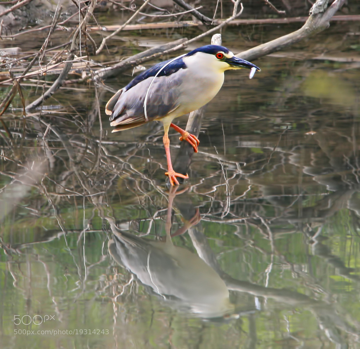 Photograph Black-crowned Night Heron by Bill McCormack on 500px