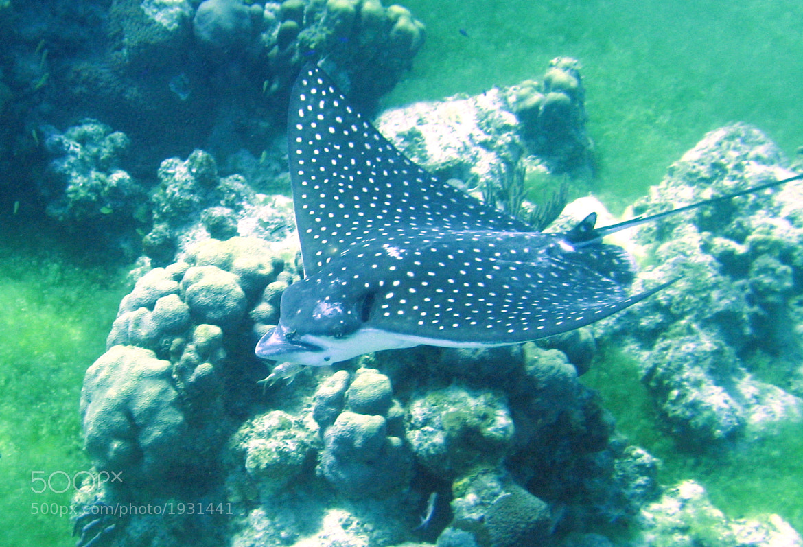 Photograph Eagle Ray Flying by Ange Salvetti on 500px