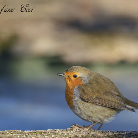 Robin, Canon EOS 5D MARK IV, Canon EF 500mm f/4L IS II USM