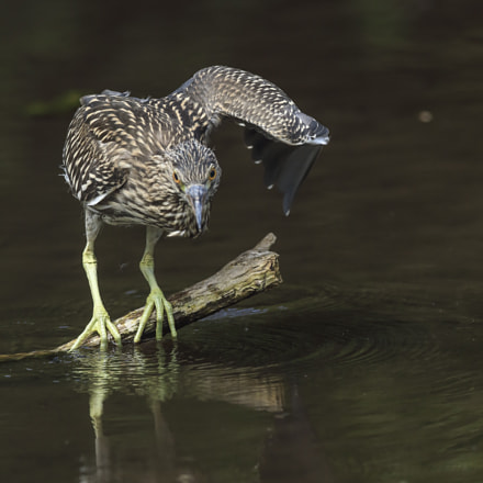 Night Heron in the, Canon EOS-1D X, Canon EF 600mm f/4L IS
