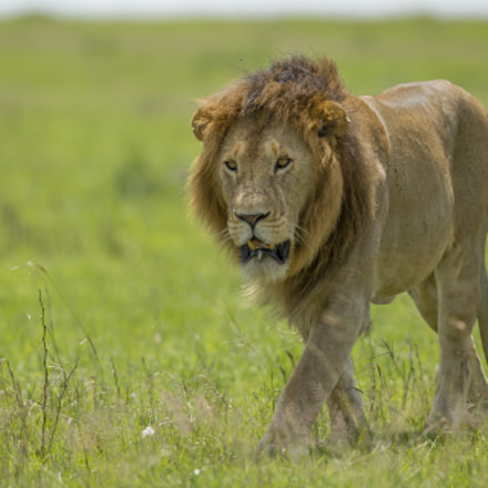 African Lion, Canon EOS 5D MARK III, Canon EF 500mm f/4L IS II USM