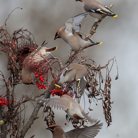 Waxwings, Canon EOS-1D MARK III, Canon EF 600mm f/4L IS