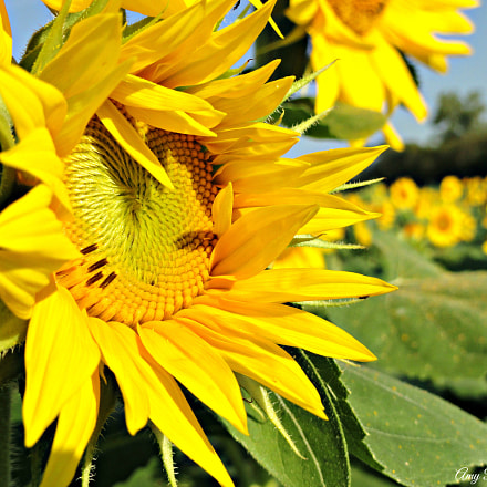 Sunflower Heaven., Sony DSC-H55