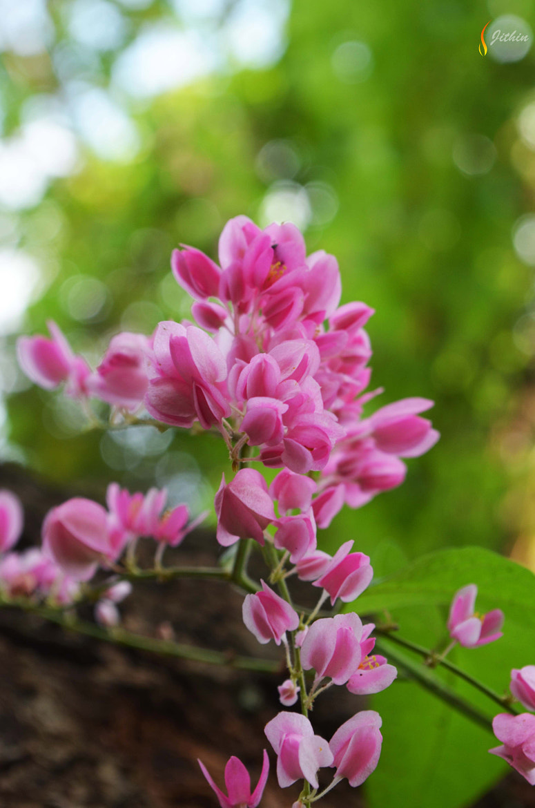 Photograph Pink Flower(s) by Jithin Jose on 500px