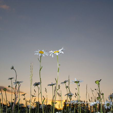 Daisies in a Summer, Canon POWERSHOT G9