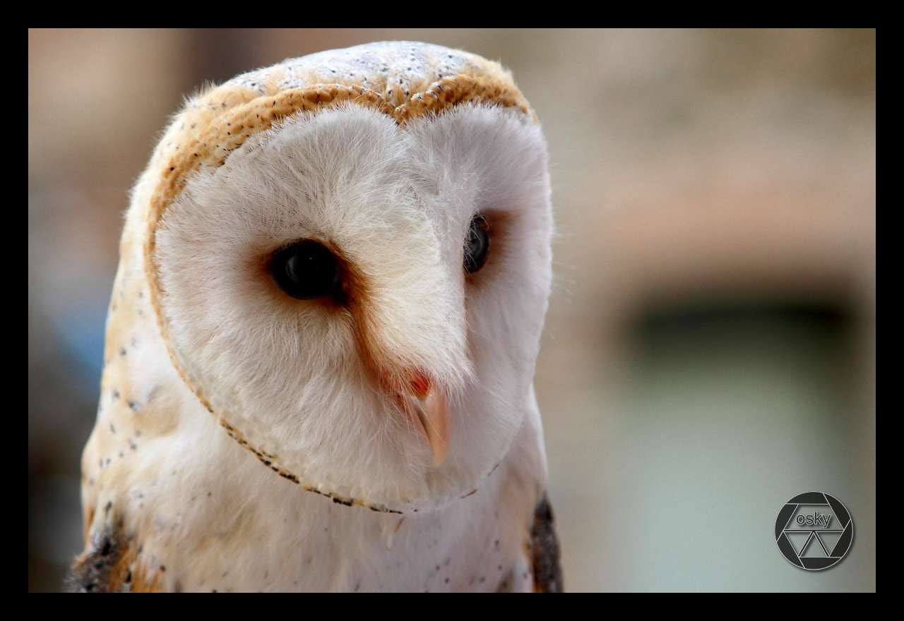 Photograph Barbagianni - Barn Owl by Oscar Musumeci on 500px