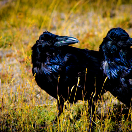 Ravens in Yellowstone Park, Canon EOS DIGITAL REBEL XS, Canon EF 100-300mm f/4.5-5.6 USM