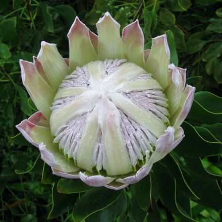 King protea flower, Canon POWERSHOT SX110 IS