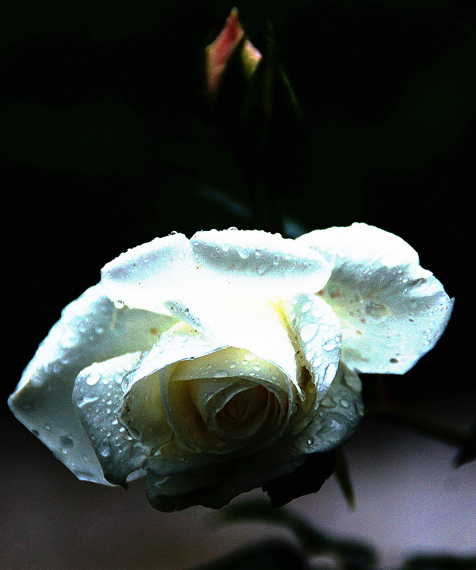 Photograph WHITE ROSE by Frederic Ritter on 500px