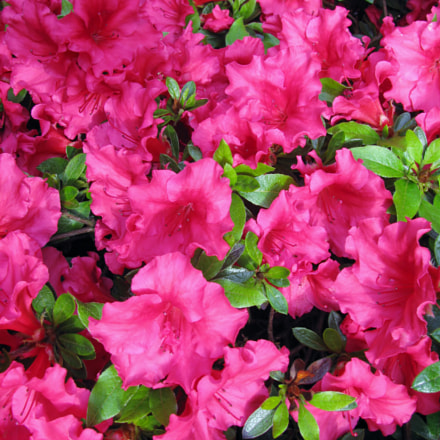 Bright pink azalea blossoms, Canon POWERSHOT SX110 IS