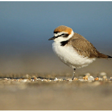 Kentish Plover, Canon EOS 7D MARK II, Canon EF 600mm f/4L IS