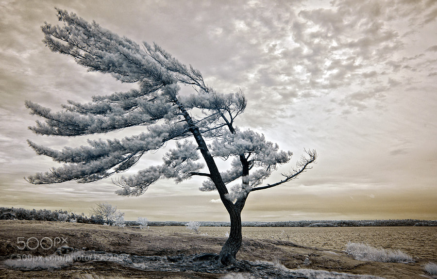My favorite tree at Killbear, possibly the most famous tree in Ontario.   It sits on Georgian Rock, the best spot in the park for watching sunsets over Georgian Bay.   Infrared image.