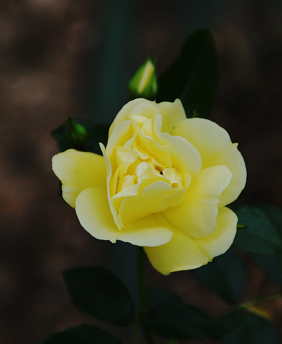 Photograph Yellow Rose by Frederic Ritter on 500px