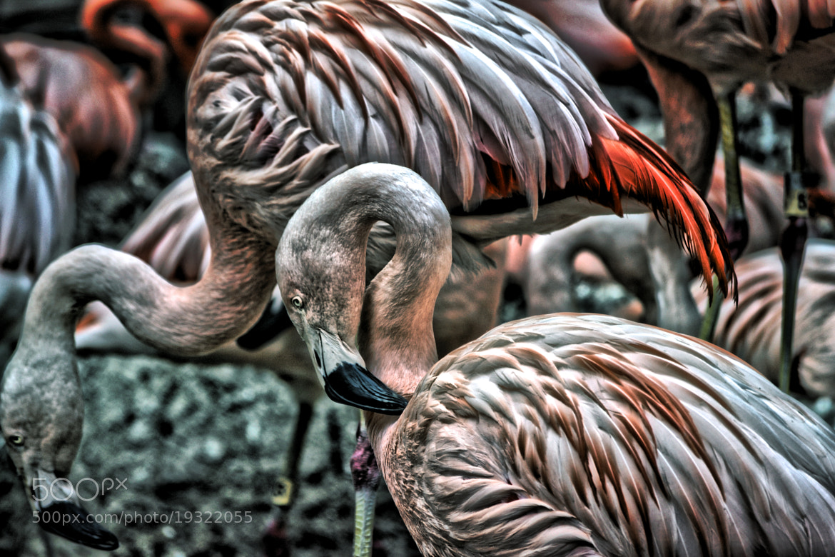 Photograph HDR Flamingos by Jeff Heredia on 500px