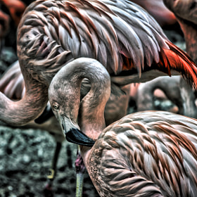 HDR Flamingos by Jeff Heredia (heredias0923)) on 500px.com