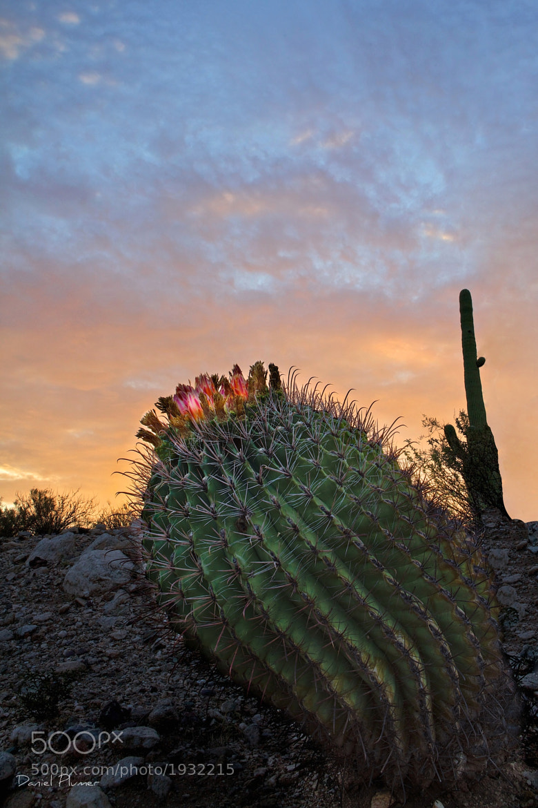 Photograph Barrel Cactus Sunrise by Daniel Plumer on 500px