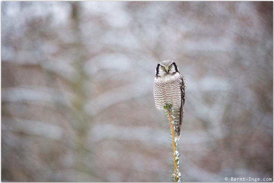 Northern Hawk-Owl by Bernt-Inge Madsen on 500px.com
