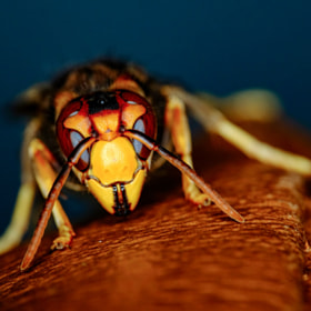Closeup photo of scary looking yellow wasp head, showing its scary facet eye and big jaw,...