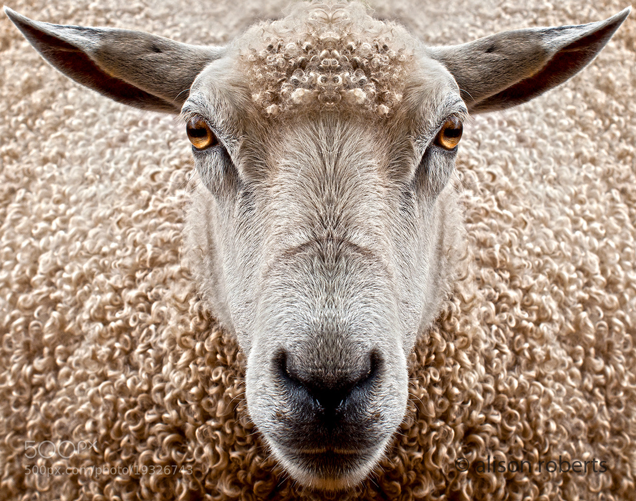 Photograph Watching Ewe by Alison Roberts on 500px