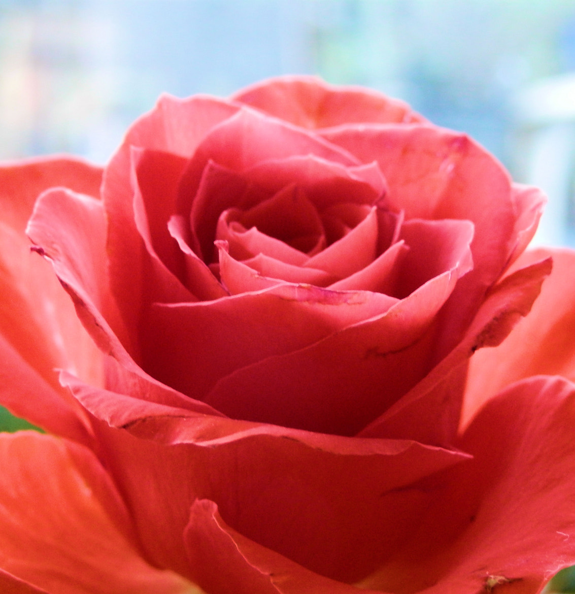 Photograph Rose by Tosca Ruijs on 500px