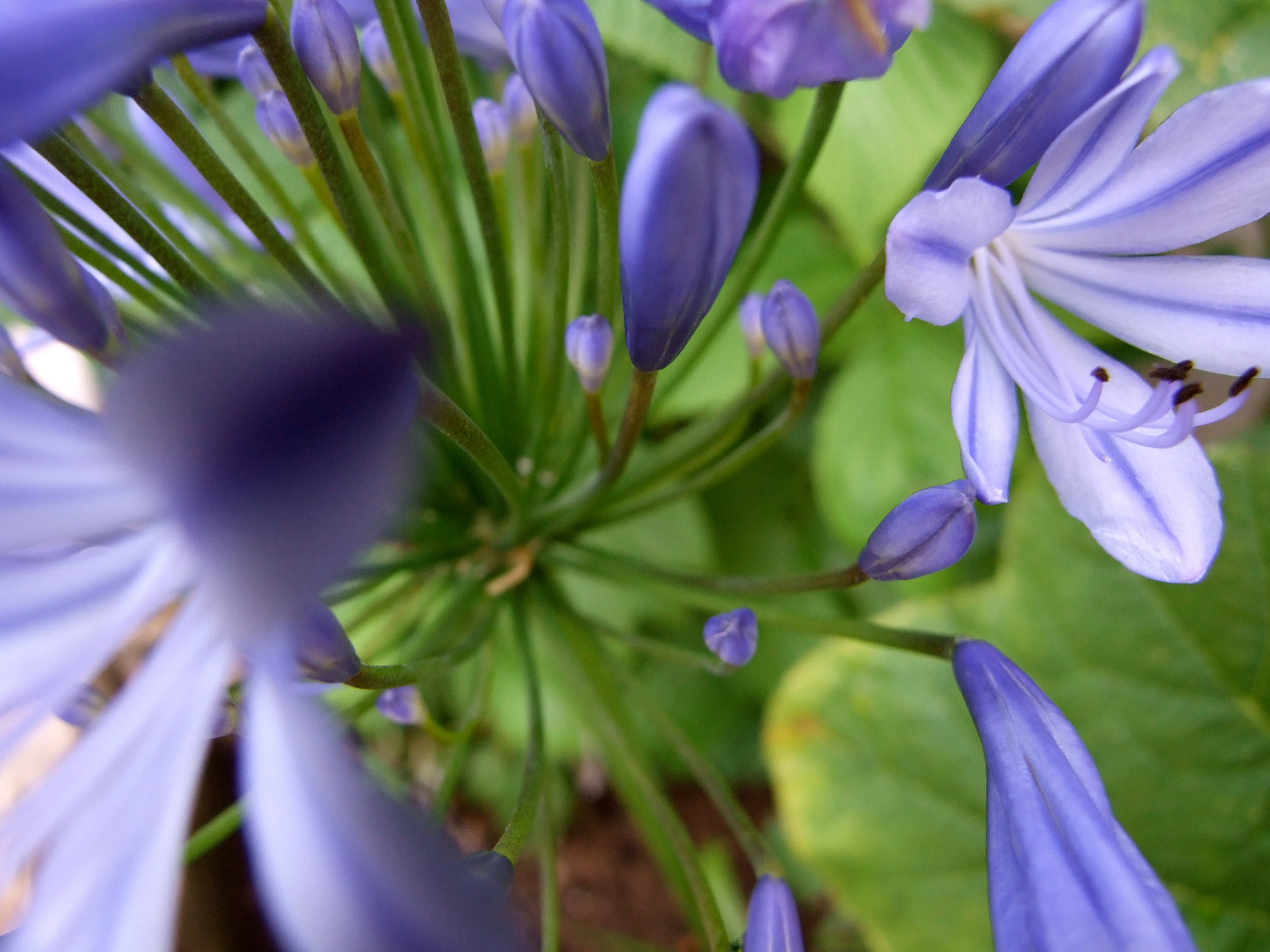 Photograph Agapanthus by Rachel  Sutherland on 500px