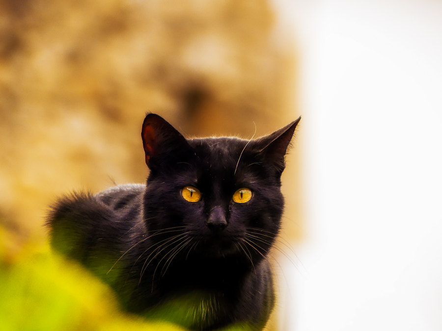Black cats - Yellow eyes by Miguel Angel Pérez on 500px.com