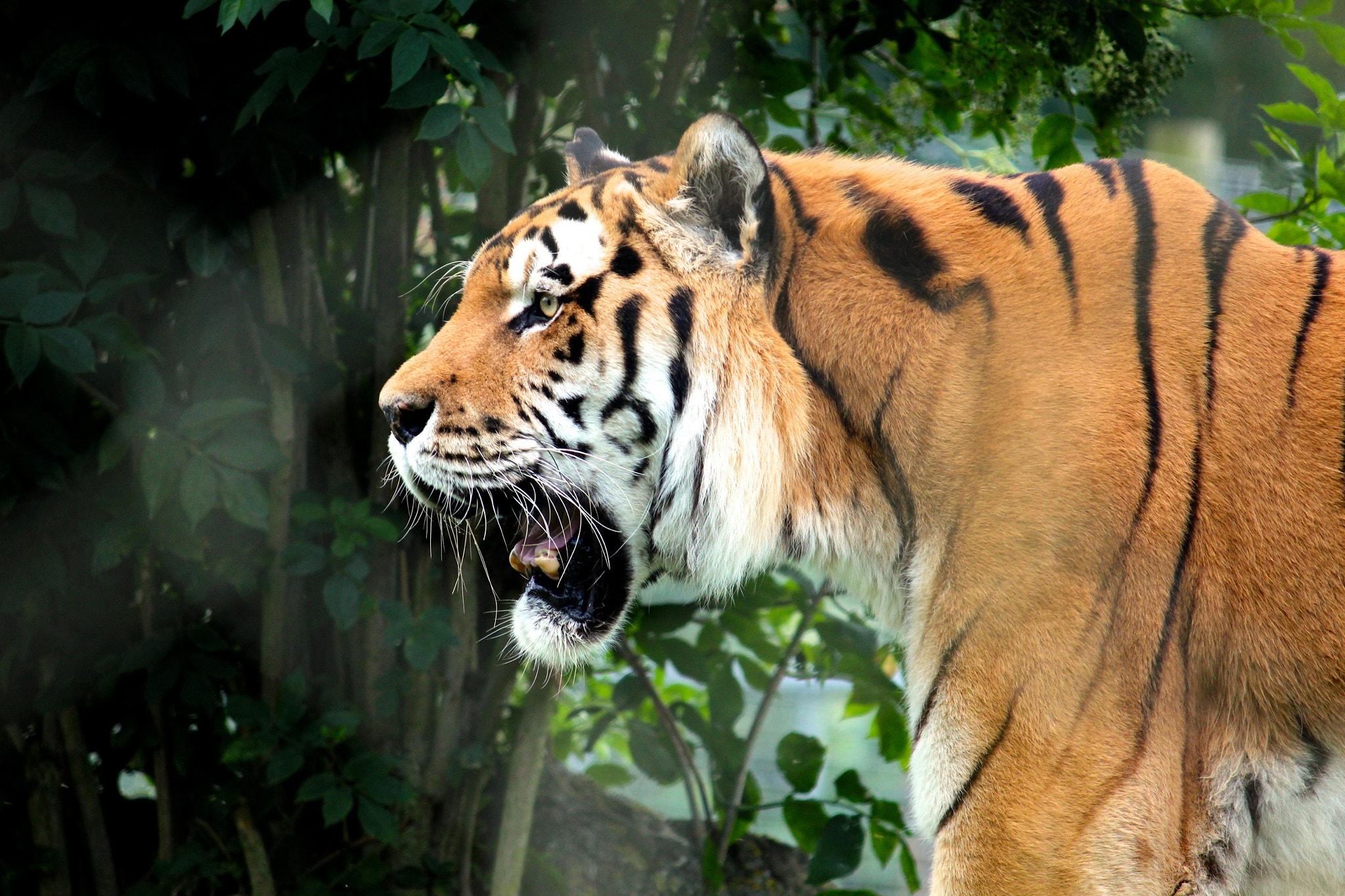 Photograph Tiger Tiger by Jona Turner on 500px