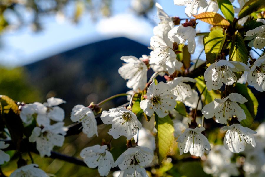 Cerisiers japonais ...Terrils de Loos en Gohelle by Edouin Daniel on 500px.com