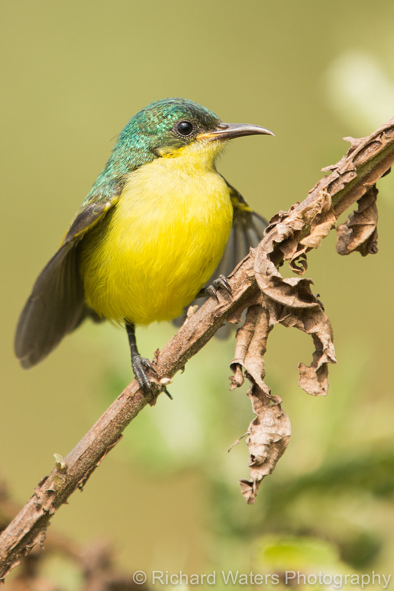 Photograph Collared Sunbird by Richard Waters on 500px