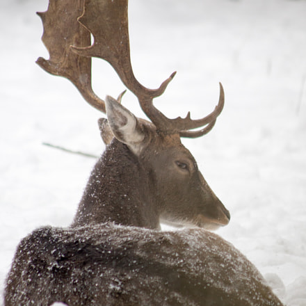 deer in snow, Canon EOS 6D, Canon EF 90-300mm f/4.5-5.6
