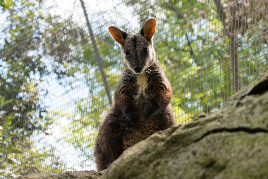 Wallaby by Neil Wilcoxson on 500px.com