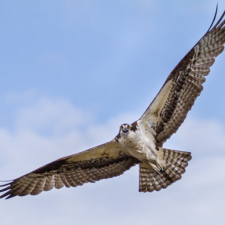 Osprey, Canon EOS 7D, Canon EF 70-300mm f/4-5.6L IS USM