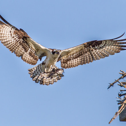 Osprey with Fish, Canon EOS 7D, Canon EF 70-300mm f/4-5.6L IS USM