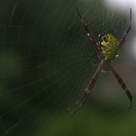 spider on web, Canon EOS KISS X50, Canon EF-S 18-55mm f/3.5-5.6 IS II