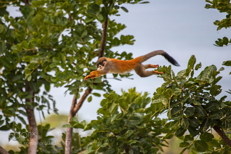 Photograph Squirrel Monkey by Sergio Quesada on 500px
