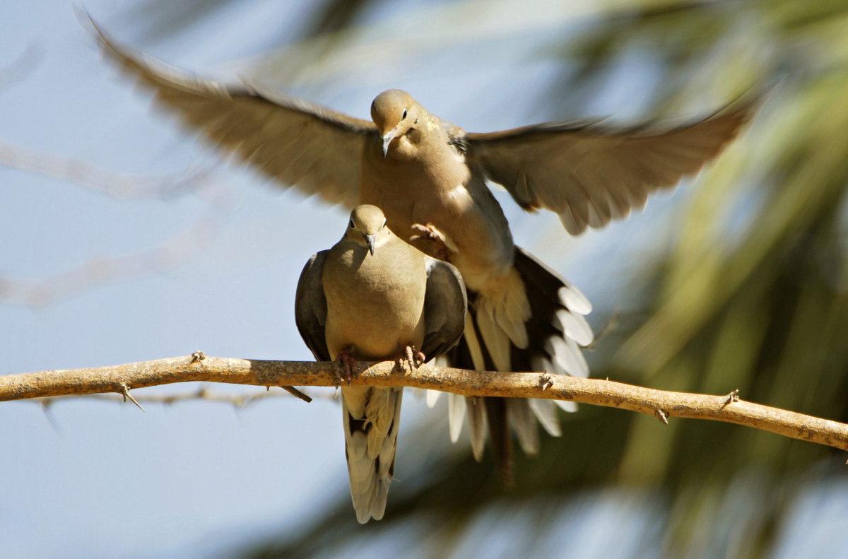 Photograph Mourning Doves in Love by Danner Bradshaw on 500px