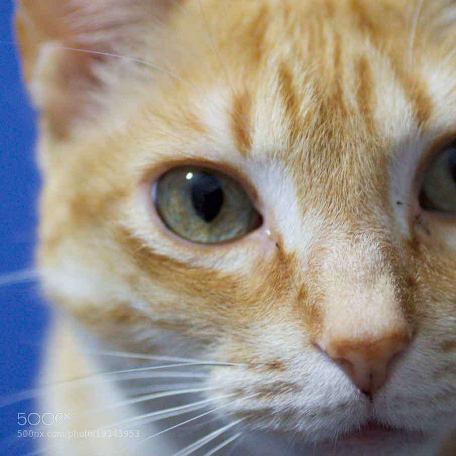Photograph Benny the Cat by Fernando Barriga on 500px