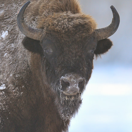 Portrait of European bison, Nikon D3, AF-S VR Nikkor 600mm f/4G ED