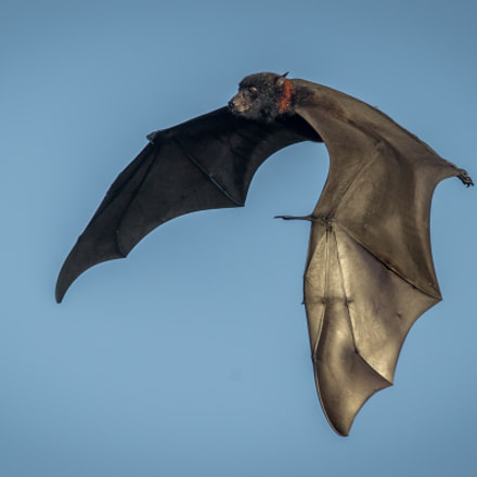 Flying Fox, Canon EOS-1D X, Canon EF 600mm f/4L IS