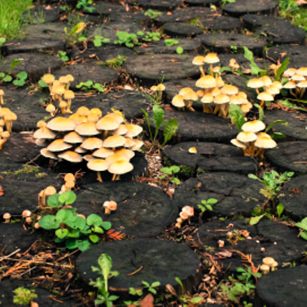 Neighbors shrooms 2015, Canon EOS 1100D, Canon EF-S 18-55mm f/3.5-5.6 III