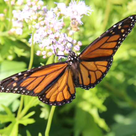 Monarch  butterfly, Canon EOS REBEL T3I, Canon EF-S 18-135mm f/3.5-5.6 IS