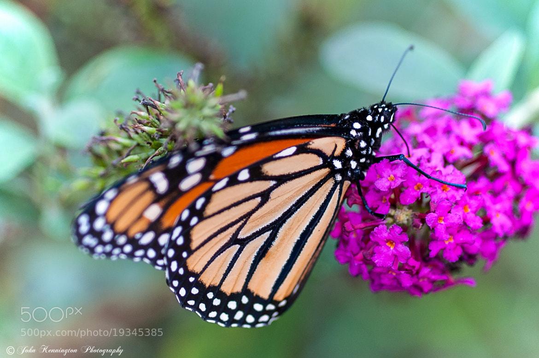 Photograph Swallowtail 2 by John Kennington on 500px