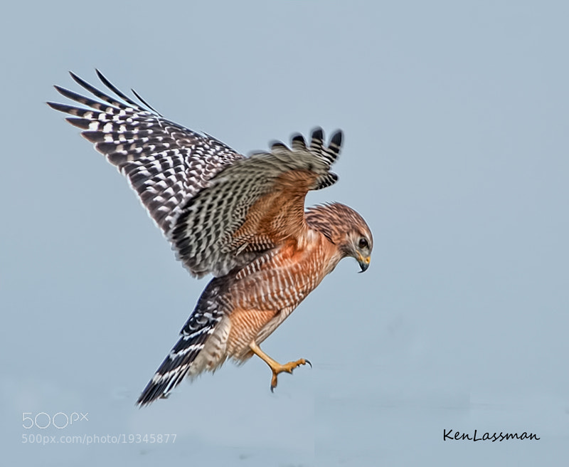 Photograph Red Shoulder Hawk Descent by Ken  Lassman on 500px