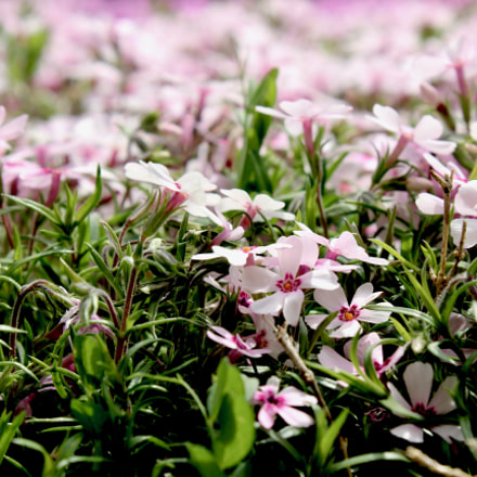 Pink flowers, Canon EOS REBEL T3I, Canon EF-S 18-55mm f/3.5-5.6 IS II