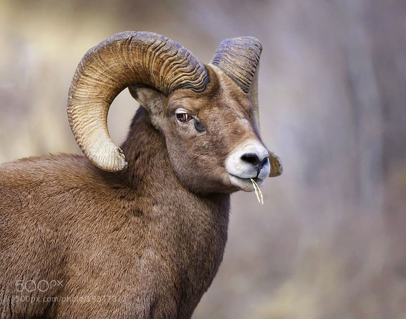 Photograph Bighorn Sheep by Dan Walters on 500px
