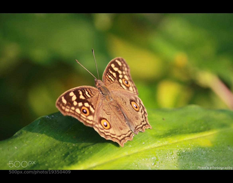 Photograph Lemon Pansy by Arun P. Nair on 500px