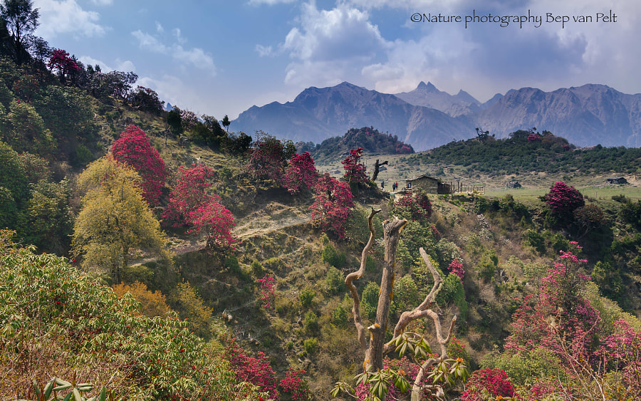 Jalja La at 3000m with rhododendrons (remake) by Elizabeth Anisclo on 500px.com