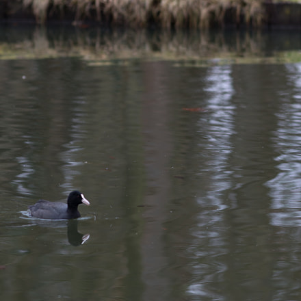 coot, Canon EOS 70D, Canon EF 200mm f/2.8L II