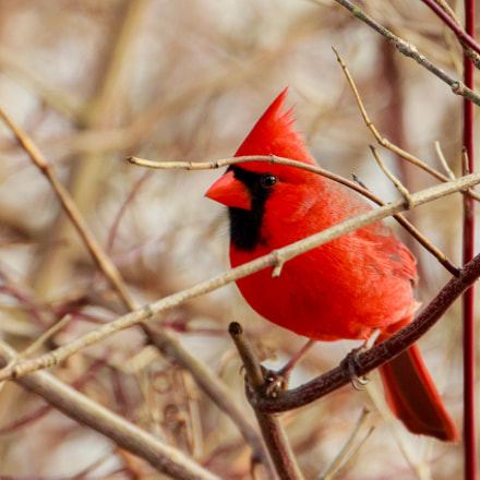 Mr Cardinal Tries To, Canon EOS REBEL T2I, Canon EF 70-300mm f/4-5.6L IS USM