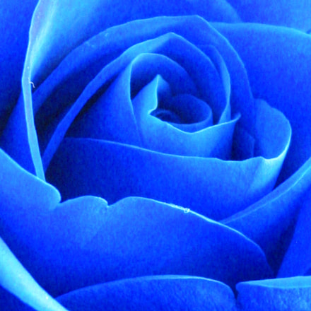 Blue Rose, Canon POWERSHOT A310